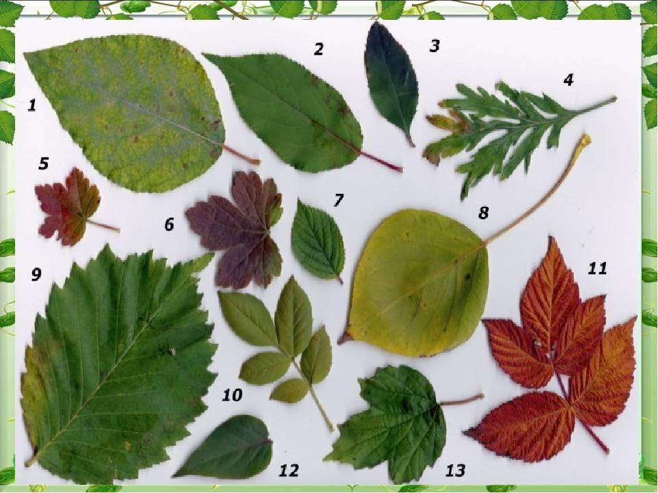 Как сделать гербарий: оформление альбома и засушка растений