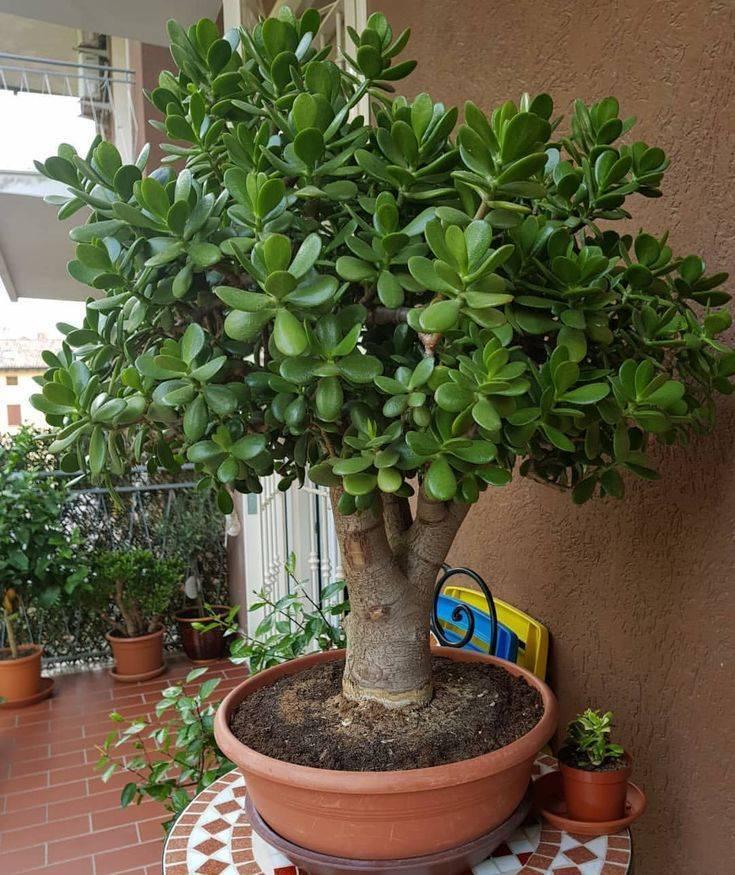Денежное дерево выращивание в доме - фото примеров