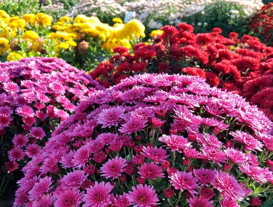 Хризантема многолетняя низкорослая: описание с фото, размножение, особенности выращивания и правила ухода - sadovnikam.ru