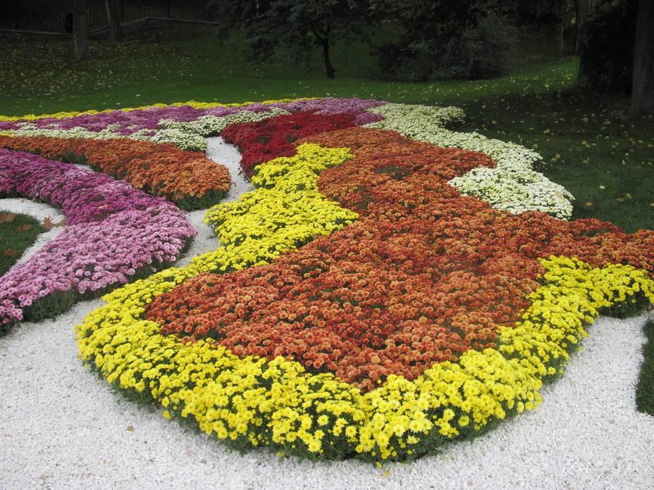 Основные характеристики и особенности выращивания садовой хризантемы