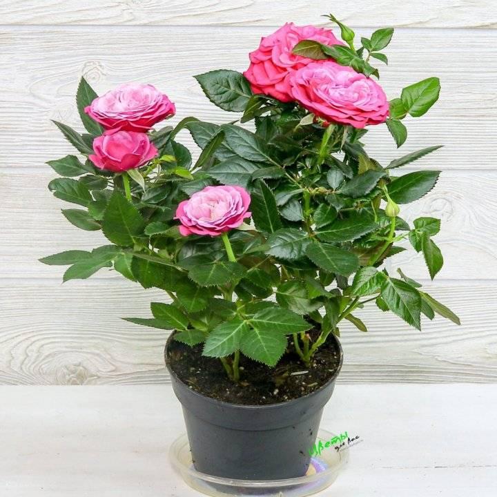 Уход за розой в горшке в домашних условиях после покупки: осенью, зимой, весной, летом