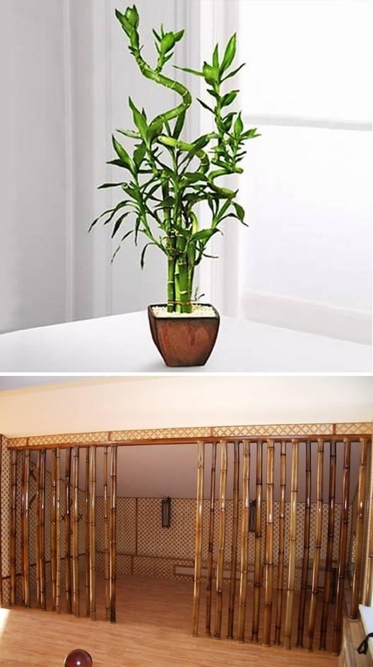 Декоративный бамбук — как растет, можно ли держать цветок в домашних условиях?