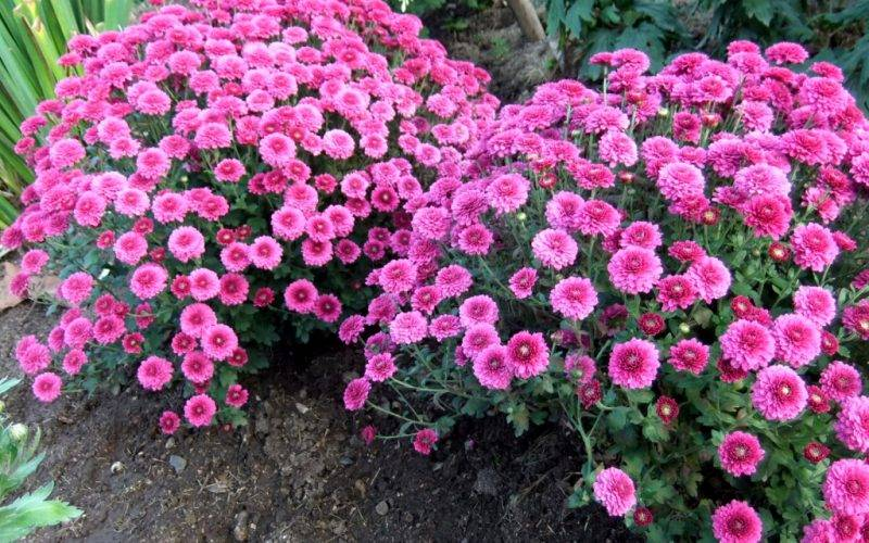 Хризантема садовая (140 фото): виды, самые популярные сорта, многолетние, выращивание из семян, как сажать, подготовка к зиме