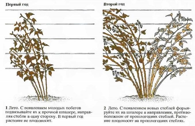 Ежевика: выращиваниеи уход, формирование куста.выращивание садовой ежевики – описание от покупки саженца и его посадки в открытый грунт до ухода и сбора урожая от подмосковья до сибири