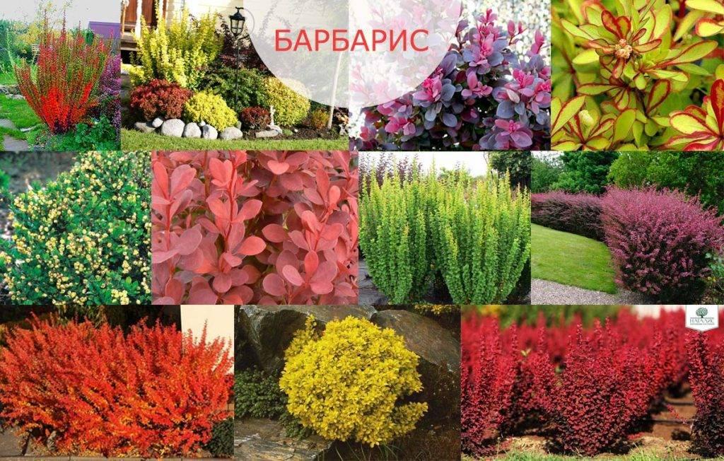 Барбарис голден ринг: описание и фото, применение в ландшафтном дизайне, посадка и уход