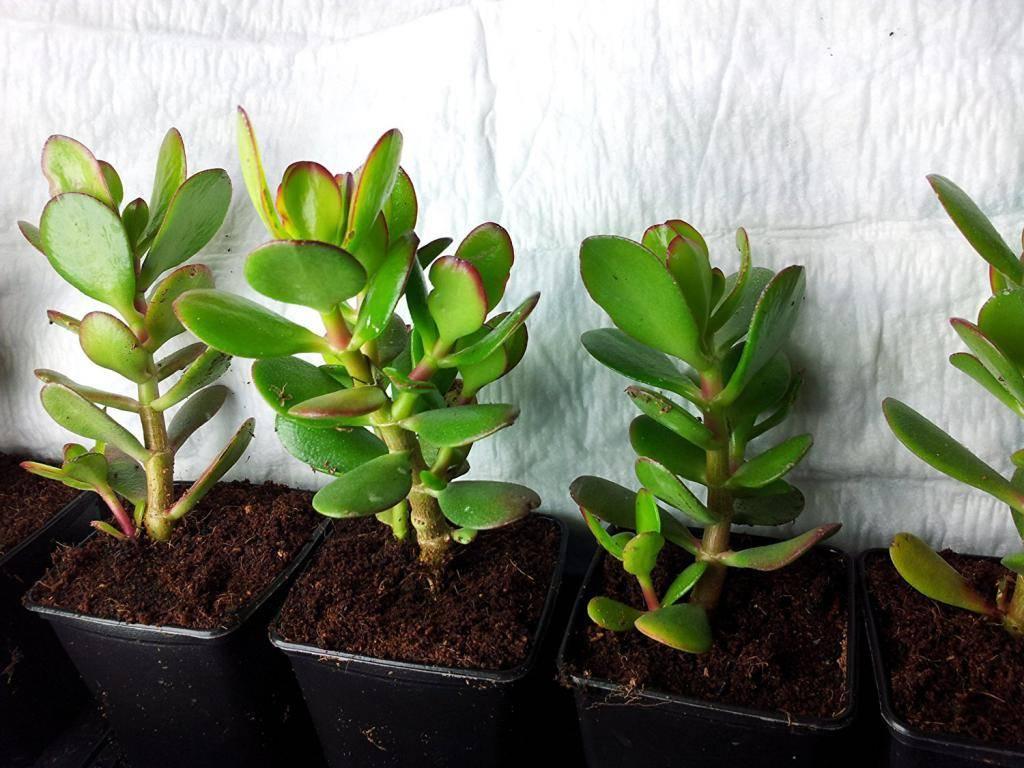 Денежное дерево – уход в домашних условиях, фото, температура содержания, требования к свету