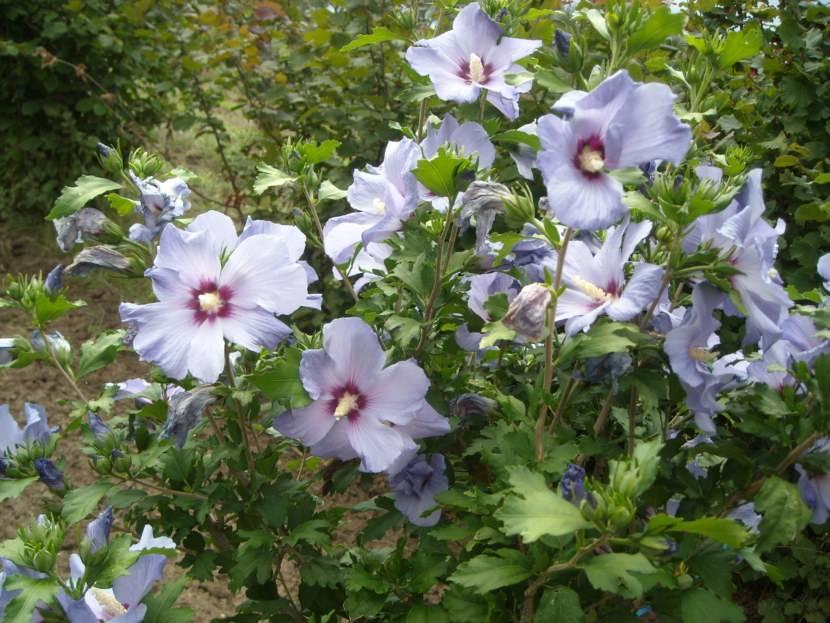 Гибискус садовый: уход, размножение, описание с фото, особенности выращивания - sadovnikam.ru