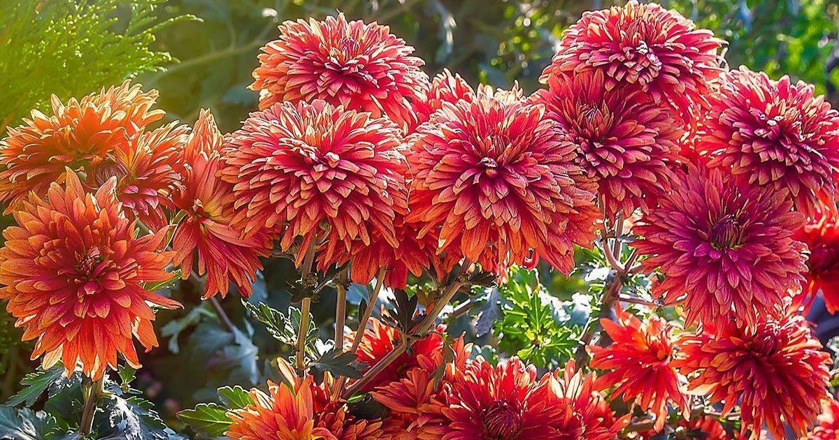 Садовая хризантема: фото с описанием, сорта, особенности разведения и ухода - sadovnikam.ru