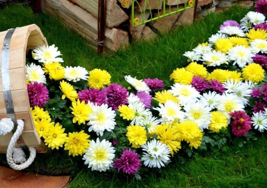 Хризантема в горшке и в саду: правильный уход, посадка, рассада, виды с фото