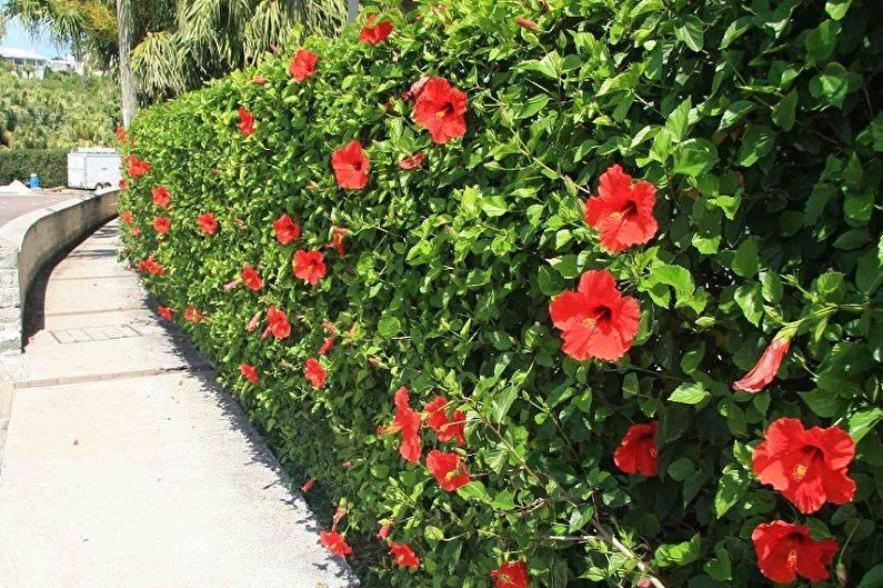 Садовый гибискус - 69 фото диких и окультуренных видов растения