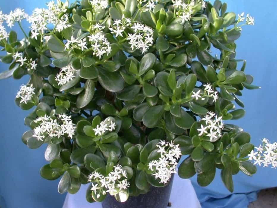 Денежное дерево: посадка, уход, размножение и цветение в домашних условиях