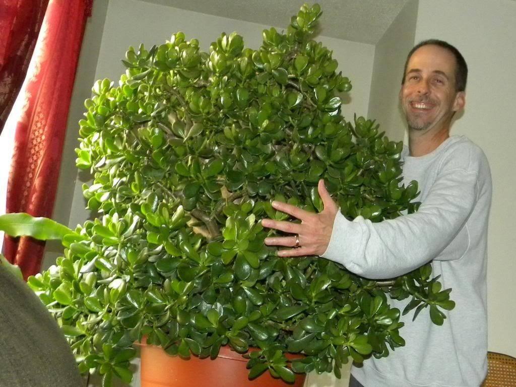 Денежное дерево — уход в домашних условиях