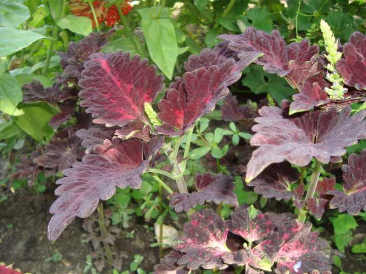 Колеус посадка и уход в открытом грунте, выращивание и размножение сорта, фото в ландшафтном дизайне