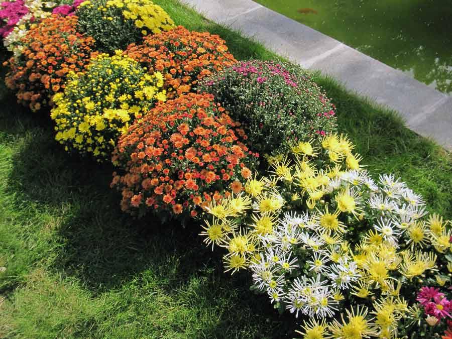 Выбор сортов многолетних садовых хризантем под дизайн участка