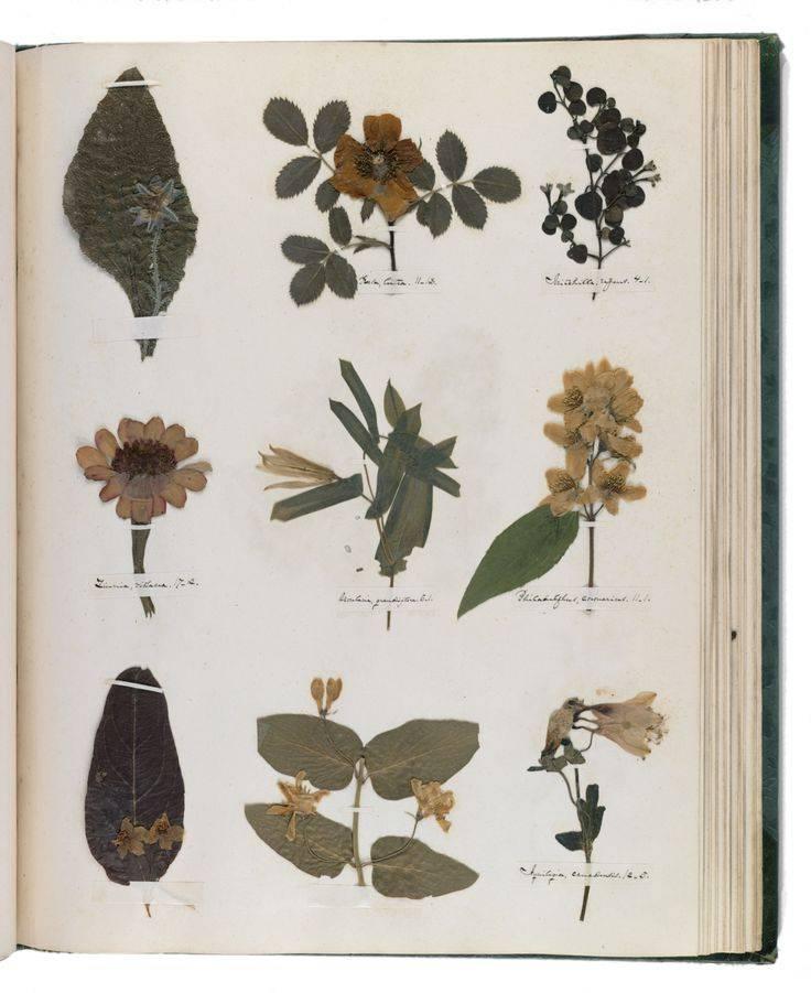 Как засушить листья и цветы для гербария и картин