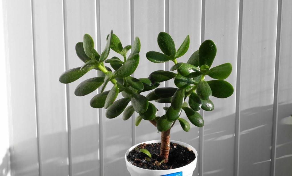 Денежное дерево (крассула) - уход в домашних условиях, цветение, формирование кроны