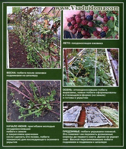 Ежевика – посадка и уход, выращивание - огород, сад, балкон - медиаплатформа миртесен