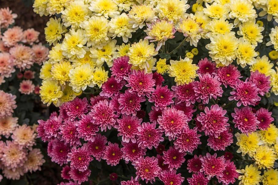 Хризантема: описание и разновидности, посадка и уход