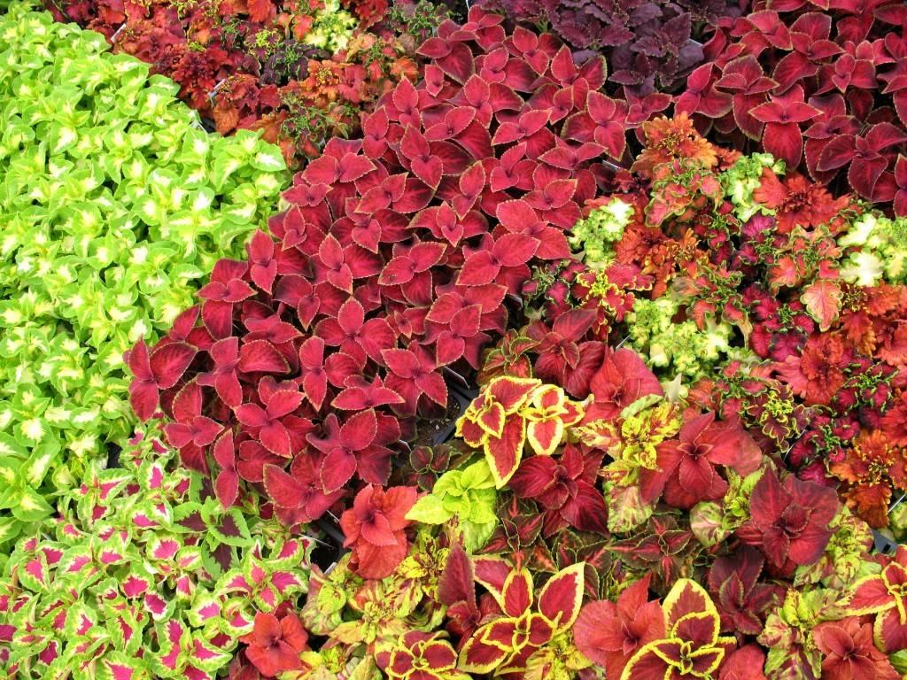 Колеус - 82 фото самых ярких и красивых декоративных растений