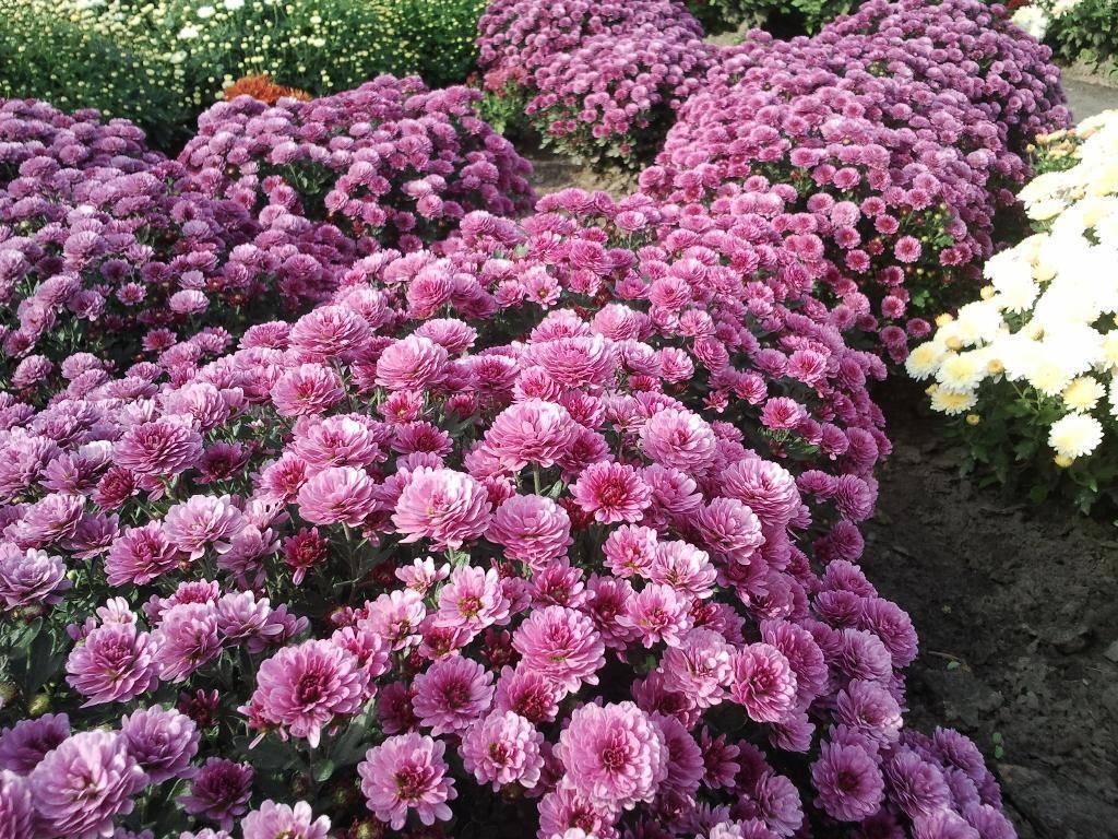Как определиться с сортом хризантем для сада. характеристики самых красивых разновидностей