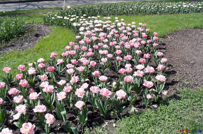 Астильба в ландшафтном дизайне сада: сочетание с хостами и лилейниками, хитрости для клумбы - 23 фото