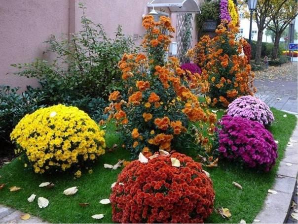 Зимостойкие сорта хризантем: 20 самых лучших с фото и описанием, корейские, индийские, особенности выращивания и отзывы