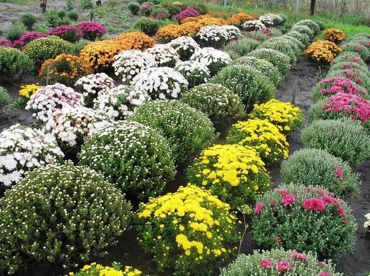 Зимостойкие сорта хризантем: 20 лучших, особенности выращивания, фото и отзывы