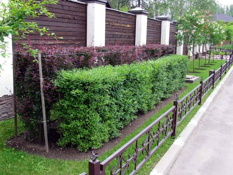 20 лучших растений для живой изгороди