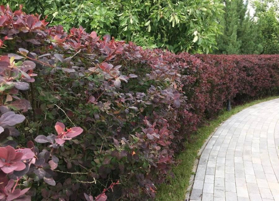 Какие виды барбариса используют в ландшафтном дизайне.