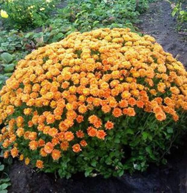 Хризантема корейская (67 фото): описание сортов многолетних зимостойких хризантем, посадка и уход, выращивание из смеси семян