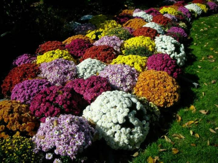 Виды и сорта хризантем: самые популярные, красивые, фото и описание