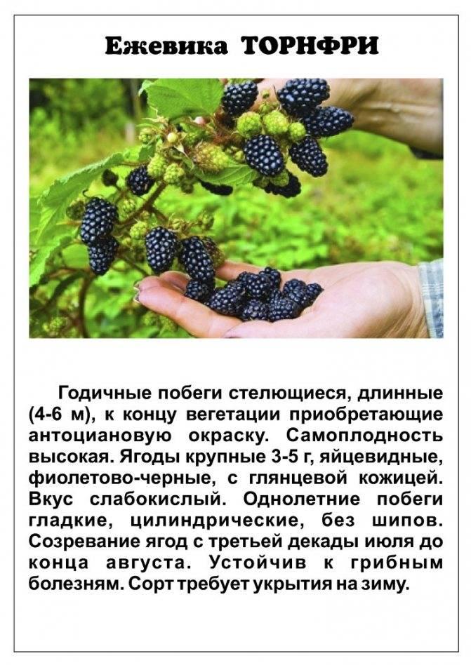 Садовая ежевика: посадка и уход, обрезка, вредители и болезни с фото, сорта с описанием