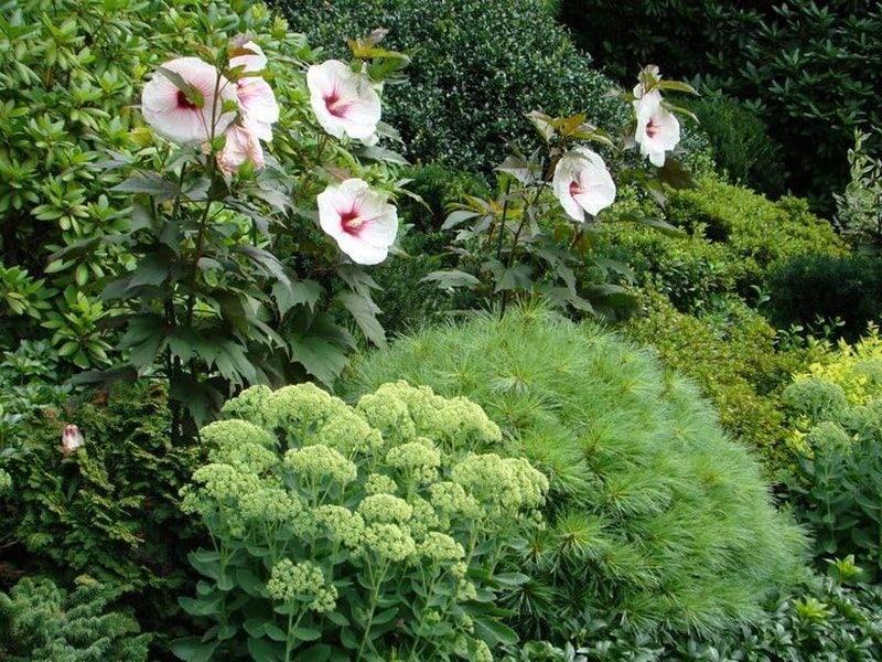 Садовый гибискус (30 фото) - посадка и уход в открытом грунте, размножение уличной китайской розой