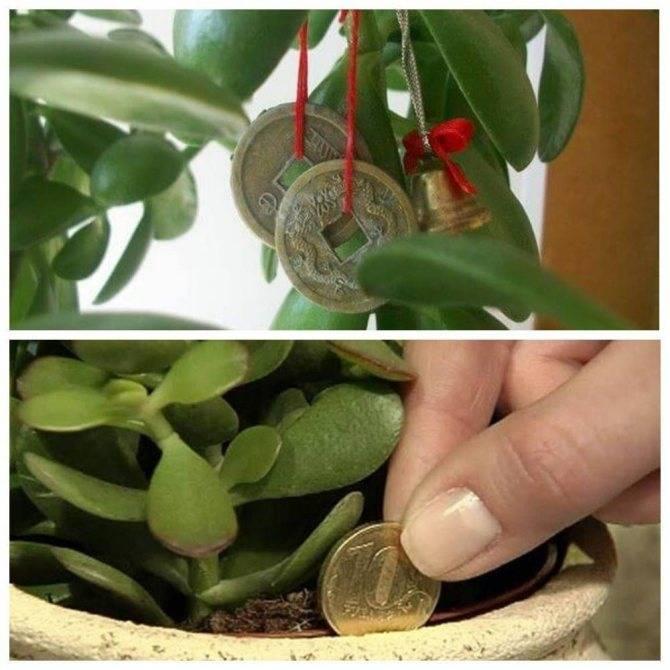 ✅ денежное дерево (толстянка, крассула) - уход в домашних условиях, выращивание, цветение, размножение