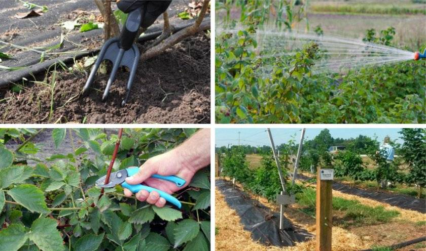 Ежевика: посадка и уход в открытом грунте. лучшие сорта для выращивания в регионах россии