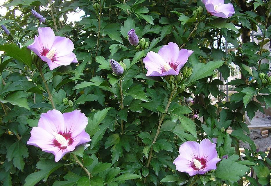 Цветок гибискус садовый: описание, посадка и уход в открытом грунте, сорта, размножение, приметы