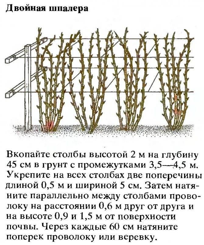 Сорта и виды ежевики с описанием, характеристикой и отзывами, в том числе для средней полосы россии, украины и других регионов