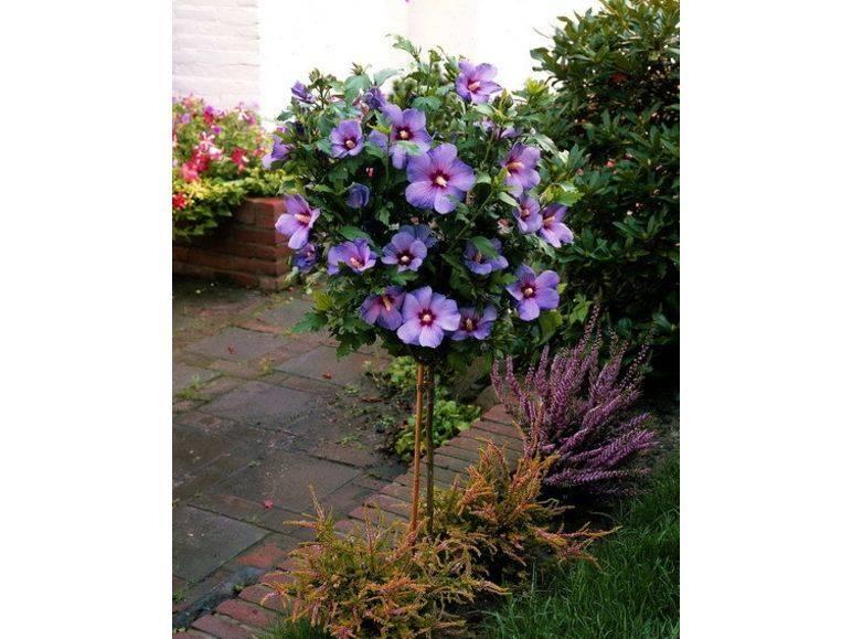 Как посадить и вырастить гибискус кустовой? узнайте всё о правильном уходе за красивым кустарником!