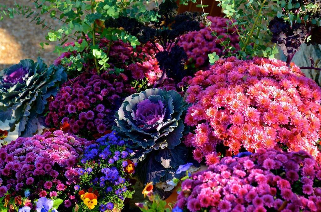 Хризантема кустовая (73 фото): сорта с названиями садовых, мелких и желтых хризантем, «пина колада» и «бонтемпи», посадка и уход в открытом грунте