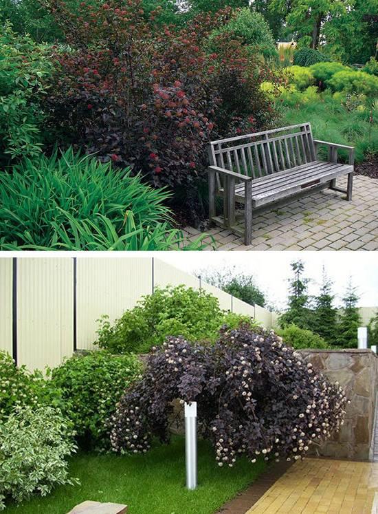 Об использовании живых изгородей из пузыреплодника в дизайне дачи