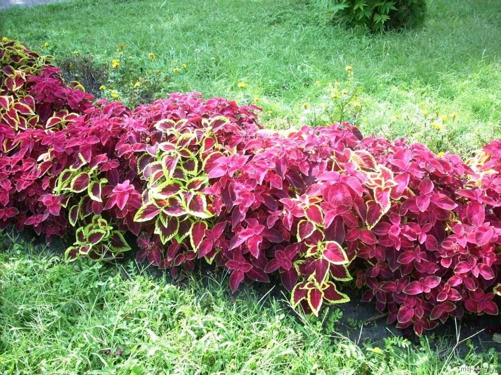 Колеус: посадка и уход в открытом грунте, описание цветка, выращивание из семян в саду, фото, в домашних условиях