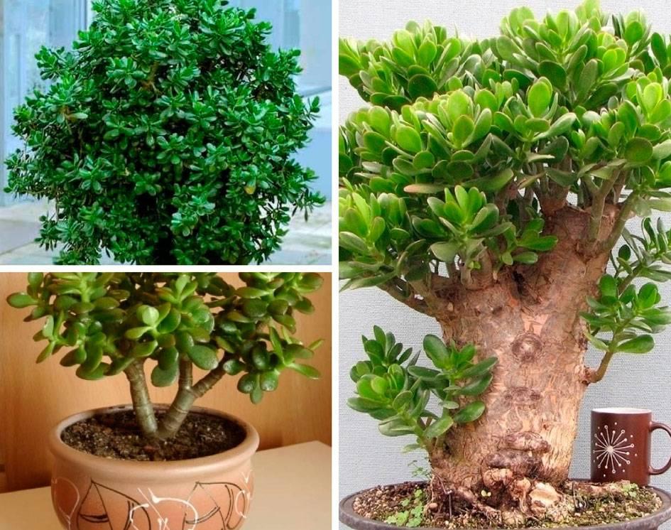 Денежное дерево (толстянка) выращивание и уход в домашних условиях