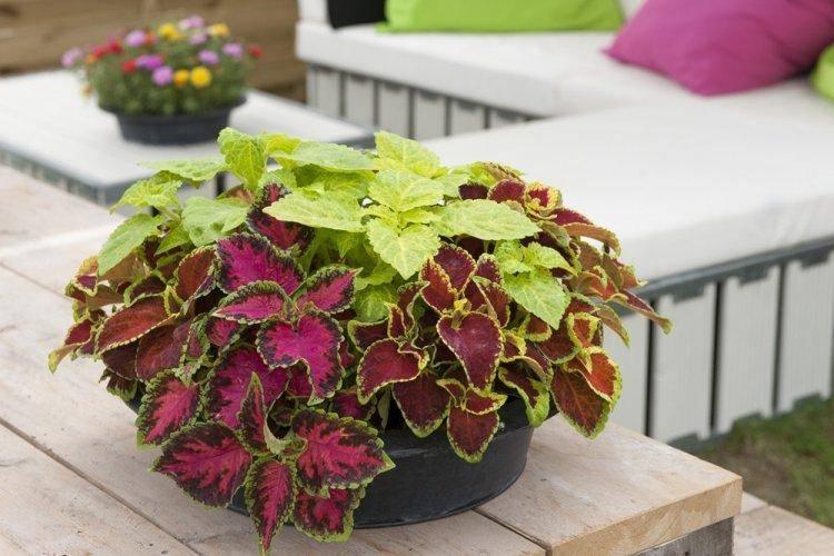 Колеус (39 фото): правила посадки и ухода в открытом грунте. размножение комнатного цветка в домашних условиях. использование декоративного растения в ландшафтном дизайне