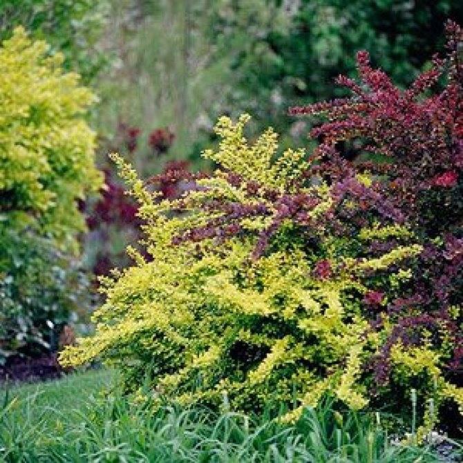 Декоративные кустарники: морозостойкие, многолетние, красивые, низкие для сада и дачи, цветущие все лето розовыми и желтыми цветами  - 24 фото