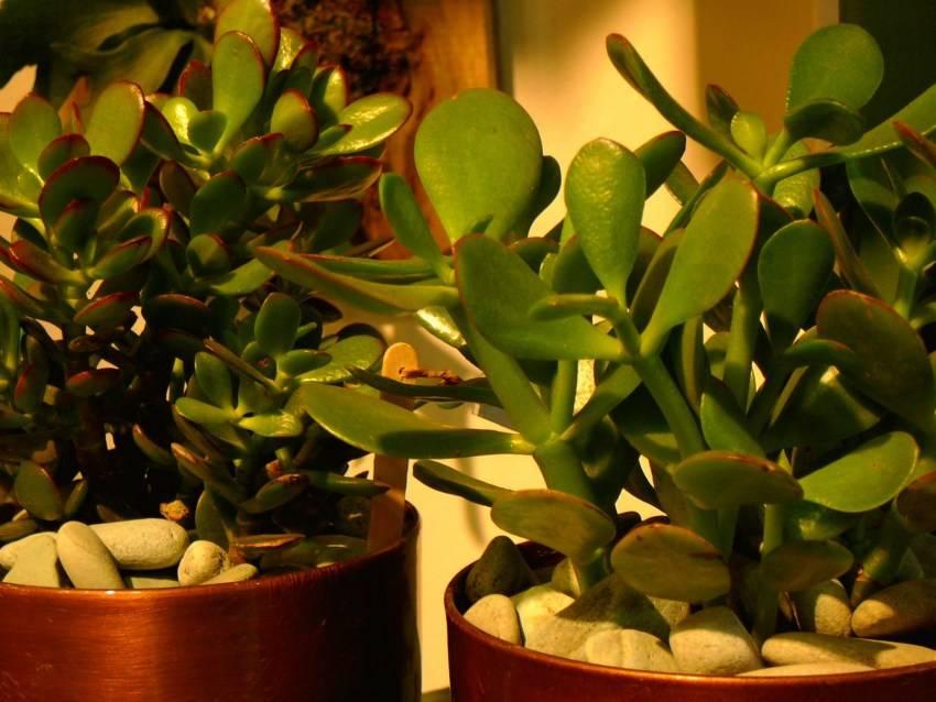 Денежное дерево (60 фото): как выглядит крассула (толстянка) и как ее посадить в горшок? уход за цветком зимой в домашних условиях. родина
