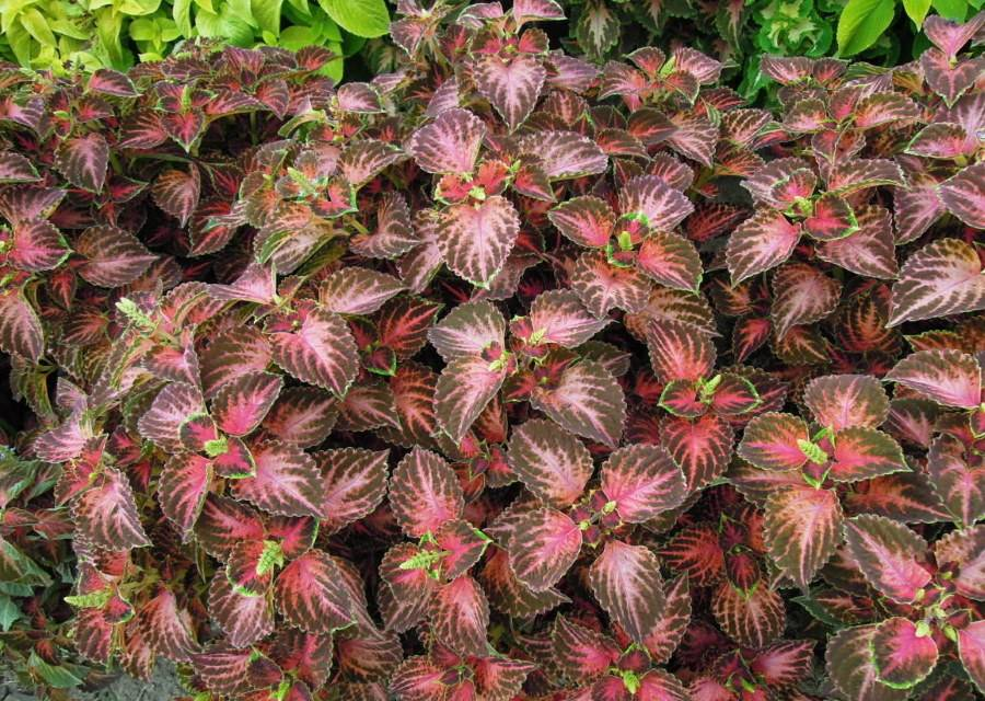 Колеус: топ-130 фото и видео цветка. посадка, уход, обрезка. выращивание в саду и в комнатных условиях. использование растения в народной медицине
