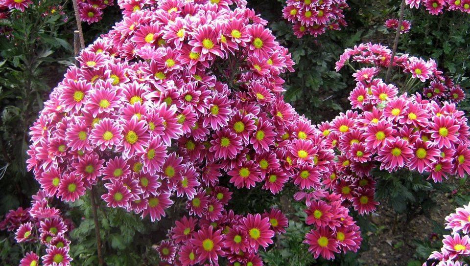 Хризантемы в саду: как выглядит садовый цветок, форма и сорта