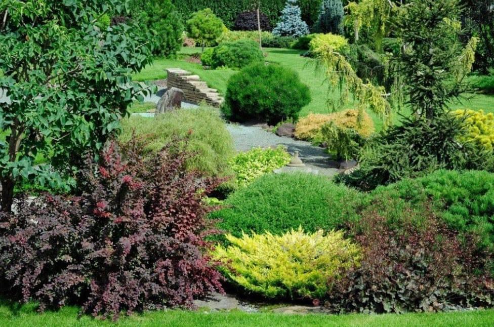 Барбарис декоративный: посадка и уход за кустарником, виды и сорта, применение на участке  - 24 фото