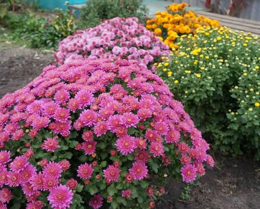 Хризантемы - посадка,  уход и способы размножения хризантем