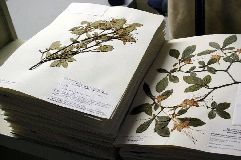 ???? гербарий из листьев своими руками: правила гербаризации и ничего сложного